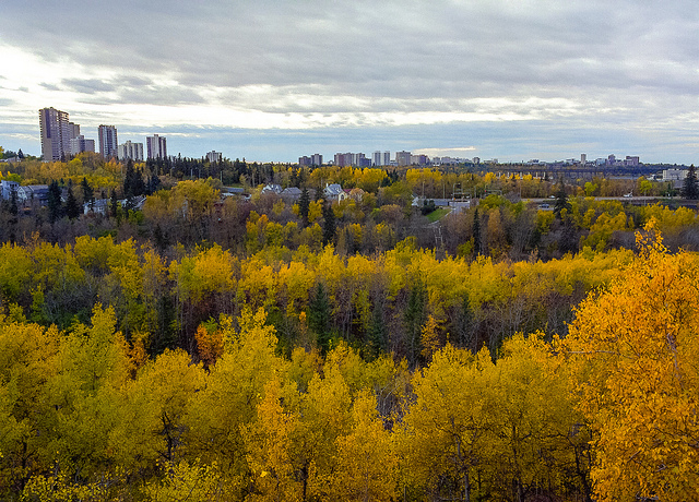 Yellow trees in the Fall at Mackinnon Ravine in Crestwood Edmonton